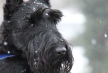 Crazy for Scotties / by Ann Westphal