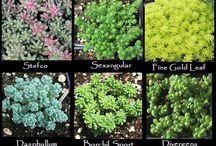 Beautiful Garden - Sedum