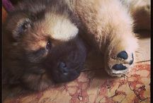 For the <3 of a Chow Chow / This is the best breed of dog--I love my BT! / by Marilyn Zimmers
