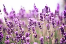 Lavender / I am in love with this plant!