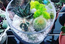 my succulents & cacti