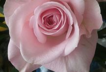Fibonacci (gulden snede)