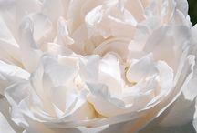 Rosen - Roses / Rosen, Rose, Roses, Garten, Blumen, Flowers, Garden, David Austin  | www.FeenArt.de | Claudia Böttcher