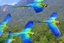Araras Papagaios Jandaia