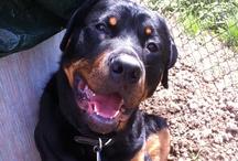 My Rottweiler : Brutus / by Lisa Swatsky