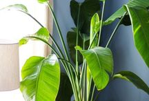 House planta