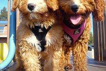 Mello Bear & Benji Button /  Mello Bear, short for Caramello Bear who is a Spoodle (cocker spaniel cross poodle).  Benji Button, short for Benjamin Button who is a Cavoodle (cavalier cross poodle).