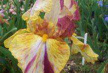 Tall irises / Irysy tb