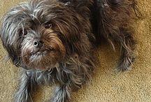 Toy Group (AKC) / In der Toy Group werden kleine Hunderassen geführt, die von Anfang an nicht für bestimmte Arbeiten, sondern als Schoßhunde gezüchtet wurden.