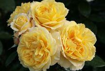 Jardin : jolies roses