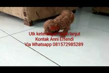Jual Anjing Red Toy Poodle