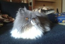 LUCY and other persian cats