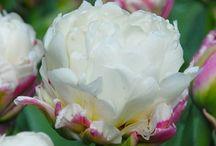 Bulb flowers - Sipulikukkia