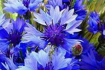 ❤ Cornflower is the joy of summer! ❤