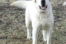 I really enjoy raising our beautiful WHITE labrador Retrievers at our ranch in TEXAS! www.legacy-labs.com is our website and www.facebook.com