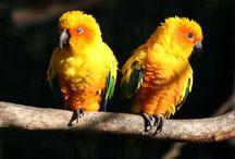 Aratinga / Gli aratinga sono un genere di pappagalli sudamericani comunemente chiamati conuri, composto da diciannove specie neotropicali, comprendenti psittacidi di notevolissima bellezza e grande diffusione presso gli appassionati