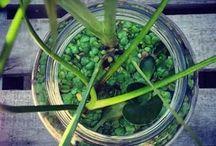 mini estanques / Plantas acuaticas en recipientes