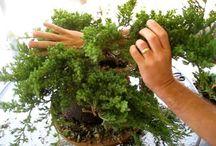 d bonsai