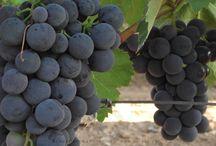 Üzüm Fidanı çeşitleri / Tüplü satışı yapılan üzüm  fidanı çeşitlerimizi incelemek için http://www.e-fidancim.com/UzumAsma-Bag-Fidanlari,LA_188-2.html linkine tıklayınız