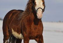 кони привередливые