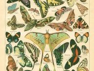 Botanical prints, Butterflies, Dragonflies