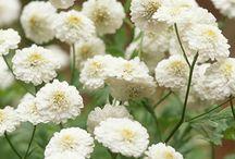Flowering Herbs / by Sharon Grey