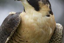 ∞oc∞ F A L K N E R / ~one who hunts with falcons~ Falkner Achilles
