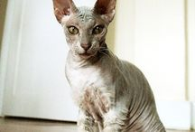 Peterbald / Cat