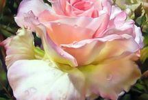 rose med duggdråper