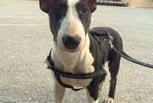 ARCHENEMY / #bullterrier #dog #puppy #funny #animal
