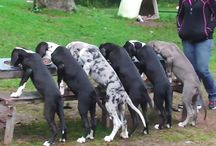 #Great #Dane #puppies / Puppies...They are like children. They need our love and care. / by Great Dane Webstore