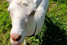goats / by Dora Garcia