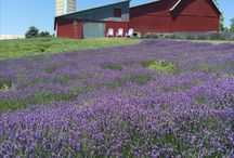 Lavender Hill Farm / The beautiful fields of lavender located near Horton Creek.  / by Visit Charlevoix