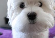 Maltese Sweethearts / My sweet girl is a Maltese and she is the best! / by Lori Howard