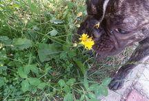 French bulldog Lola