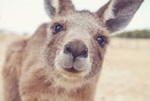 Kangaroo ❤️