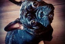 Metka Skarpetka / french bulldog