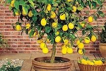 lemon tree im a pot