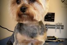 Yorkies / by TopDogs