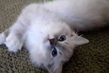 Ragdoll Kitten - What Are They Like