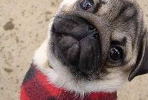 Pug Confession