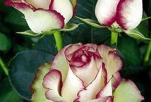 натуральные цветы