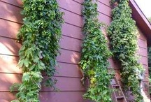 Growing Hops / Growing hops for beer and ale home brewing, privacy fence, cover for pergolas, gazebos, arbors, calming tea, sleep pillows, hop bine wreaths and so much more.
