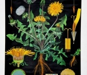 Dandelions Galore / Dandelions are edible,  so why not use up some of those weeds growing in and around your home.   Just make sure they are organic and free of weed spray.