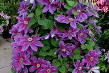 clematis images