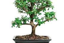 New Trees July 2015 / We've added some nice new bonsai trees to DallasBonsai.com!