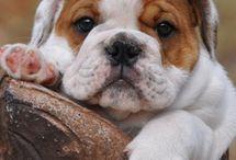 lovely bulldogs