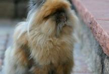 Løvehode kanin