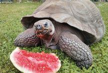 Galapagos Tortoises / Como Zoo's Galapagos Tortoises