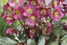 PDN 2016 Helleborus / Hellebores are winter-flowering perennials for the woodland shade garden. Plant Delights has a large collection of flowering hellebore plants for sale.